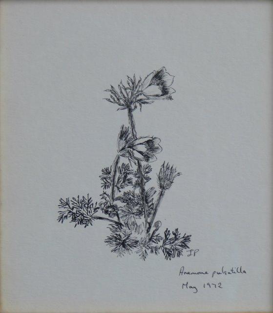 Anemone Pulsatilla