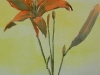 Yellow Tigerlily (unframed)